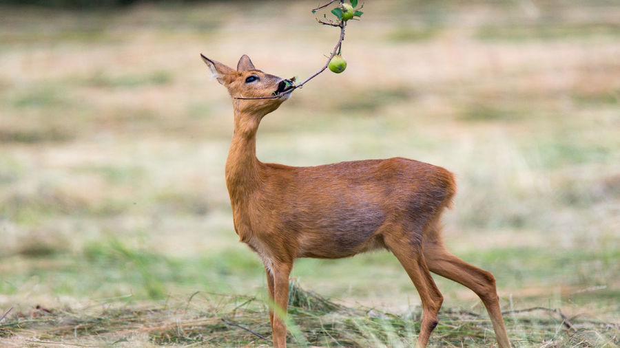 Hunting Jagd Haarwild Rehwild Reh Roe Deer Roe Deers One Animal Animal Themes Animal Wildlife Animals In The Wild Animal Vertebrate Mammal Brown Standing No People Herbivorous Day Outdoors Deer