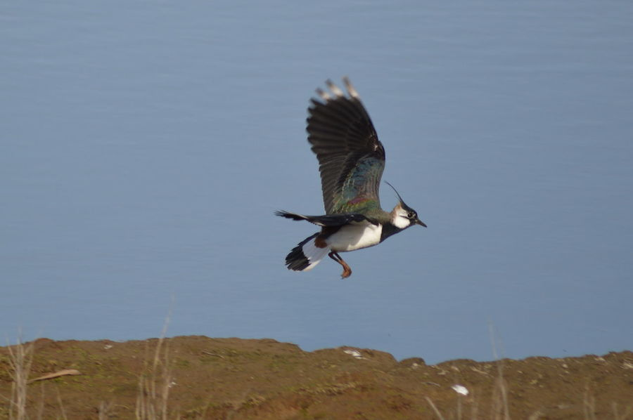 Lapwing Lapwings In Flight Irridescent Beautiful Nature Rainbow Birds Birds Of EyeEm  Beautiful Birds Nature Photography Birds In Flight Wetlands Showcase April No Filter, No Edit, Just Photography Nikonphotography Worcestershire Wildlife Trust Coming In For A Landing