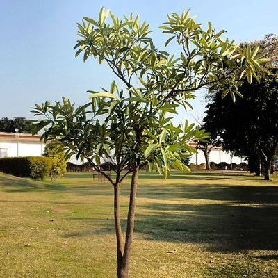 Plantation in COMSATS Attock Campus. Comsats Comsatsatk Attock Pakistan beautiful tree plants plantation university institute IT campus