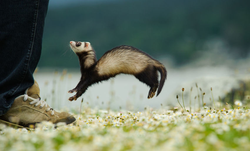 Ferret jumping Animal Themes Day Feet Ferret Jumping Nature One Animal Outdoors Playing Fresh On Market 2016