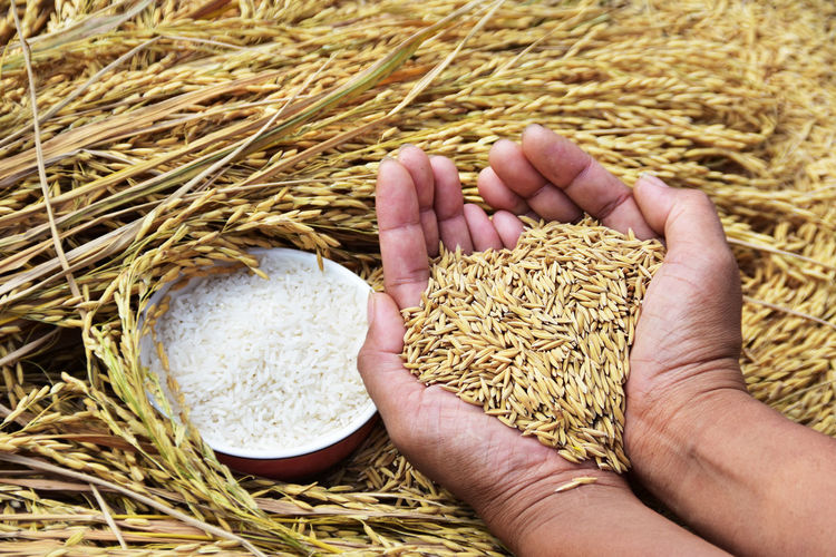 Cropped image of hands holding wheat grains by rice bowl