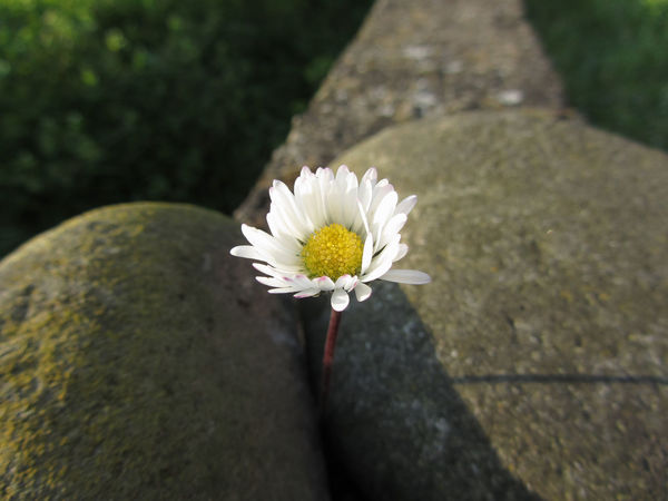 Single white daisy flower between the stones at sunset . Tuscany, Italy Bloom Blossom Camomile Chamomile Daisy Ecology Flora Flower Green Growth Love Peace Pistil Romantic Season  Shine Spring Springtime Stem Stone Sunlight Sunny Sunset White Wildflower