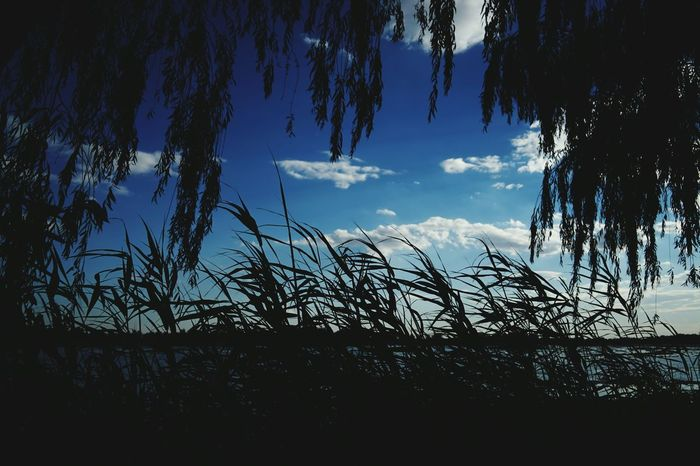 China Photos Weeping Willow Reeds Between Clouds And Sky Blue Sky Soft Wind Silhouette Lovely Weather Travel Treepark Cloudpark