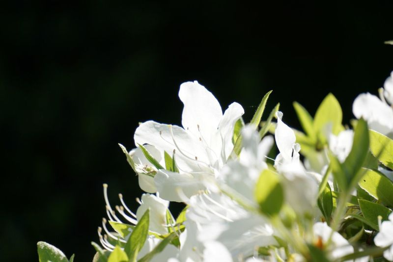 つつじ Flower Nature_collection Azalea