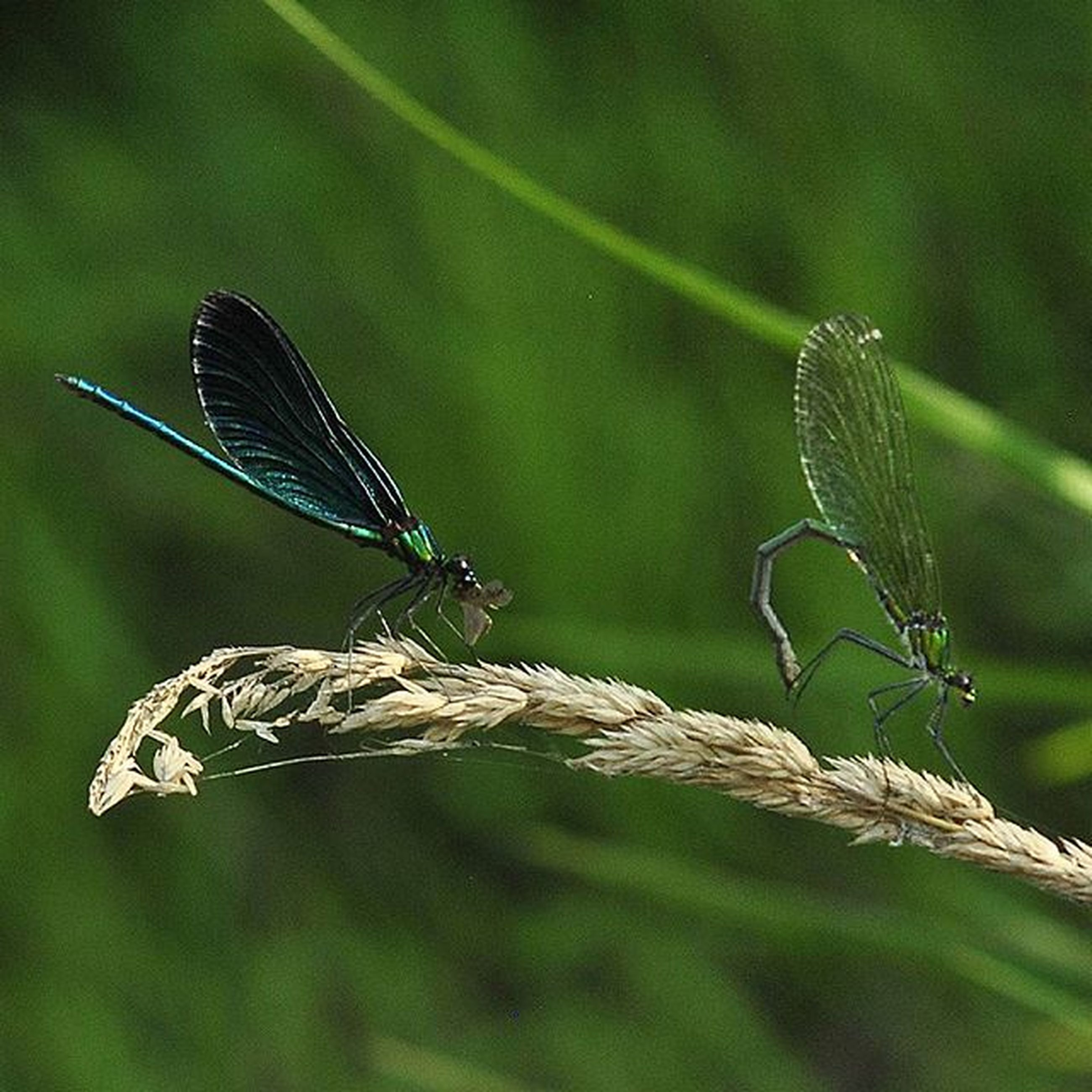 one animal, insect, animal themes, animals in the wild, wildlife, focus on foreground, dragonfly, close-up, plant, animal wing, green color, nature, leaf, twig, day, selective focus, outdoors, perching, butterfly, no people
