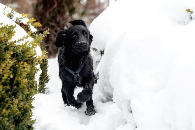 A black puppy is playing in the snow Animal Black Breed Cold Cute Dog Domestic Friend Fur Happy Ice Mammal Nature Obedient Dog Outdoor Outside Pet Playful Puppy Purebred Season  Snow White Winter Canine Pets Domestic Animals Vertebrate One Animal Animal Themes Cold Temperature White Color No People Day Black Color Portrait