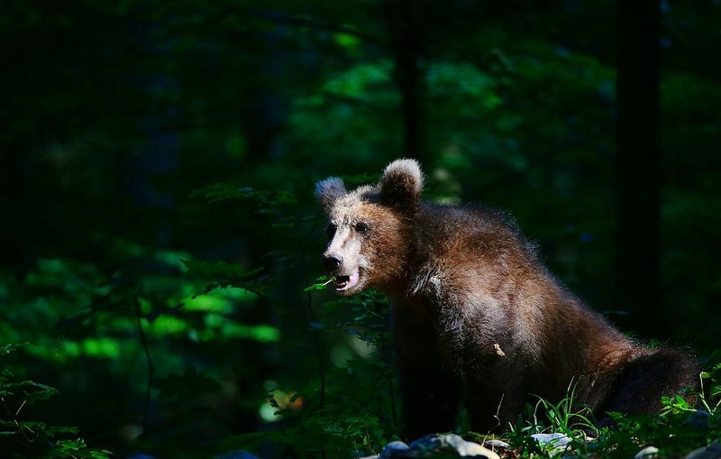 Young brown bear in forest