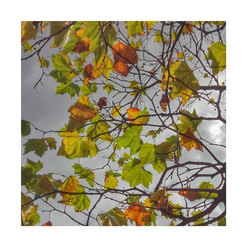 Astley in Autumn iv Nature Leaf Growth Branch Plant Autumn Outdoors Tree Day No People Lovelancashire Nature Chorley Lancashire Astley Park Gold Colored Beauty In Nature Autumn🍁🍁🍁