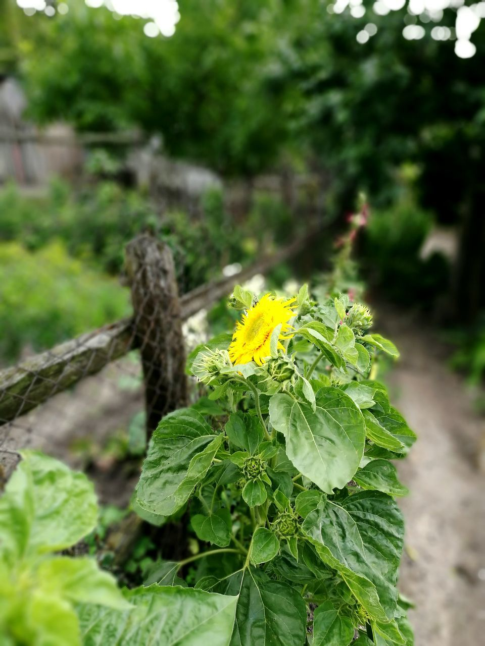 flower, growth, green color, nature, focus on foreground, plant, beauty in nature, freshness, fragility, day, no people, outdoors, close-up, leaf, yellow, flower head, tree, blooming