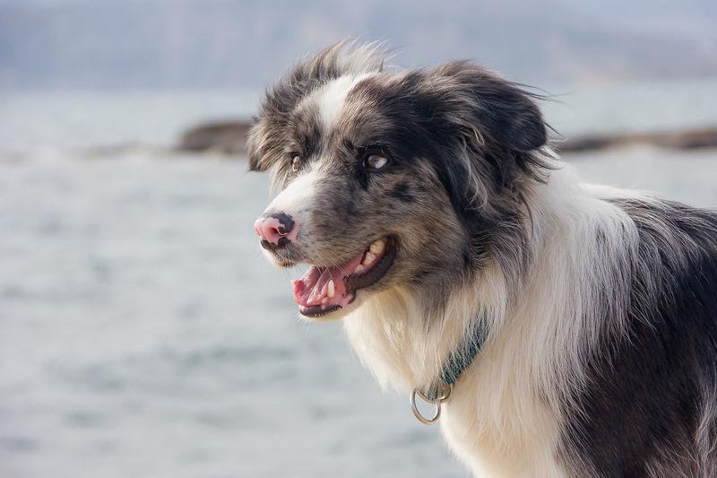 Close-up of dog border colli looking away