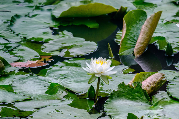 Japan Japan Photography Fujifilm Fujifilm_xseries X-t2 FUJIFILM X-T2 Water Lily Flower Flowering Plant Plant Beauty In Nature Freshness Vulnerability  Fragility Growth Flower Head Nature No People Water Leaf Floating On Water Ichikawa Pond