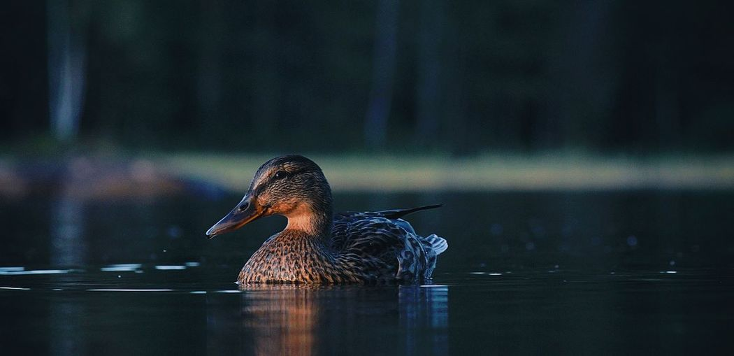 View of a duck swimming in lake