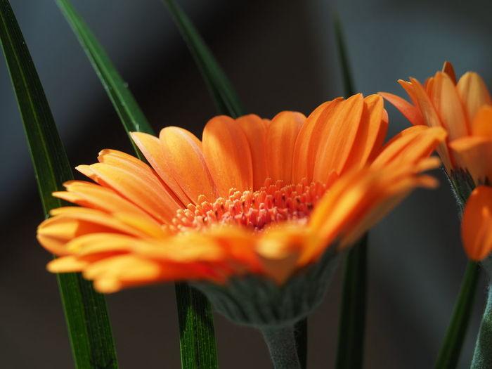 Close-up of orange daisy