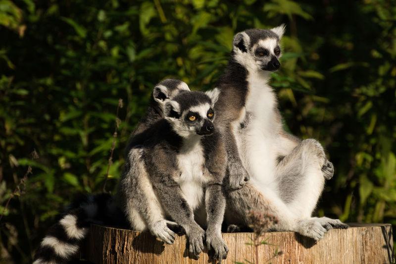 Animal Family Animals In The Wild Lemurs Monkey Outdoors Portrait Sitting Three Animals Wildlife