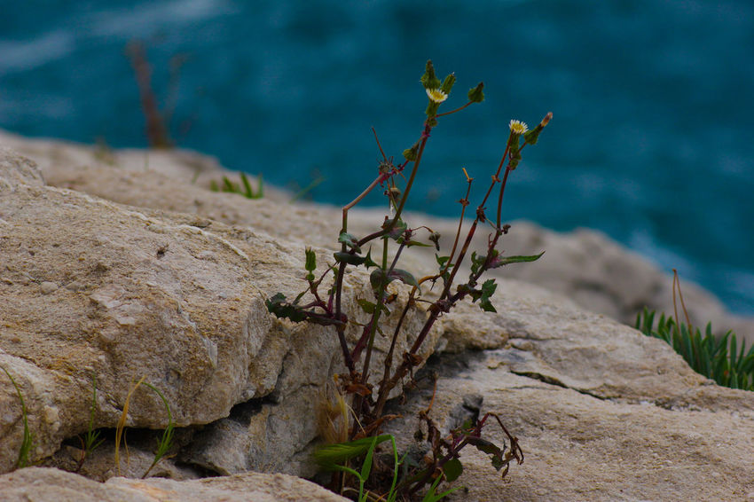 Beauty In Nature Botany Close-up Croatia Dalmatia Day Focus On Foreground Growing Growth Nature Natures Diversities No People Non Urban Scene Outdoors Plant Remote Rock Rock - Object Rock Formation Scenics Sea Selective Focus Split Croatia Tranquil Scene Tranquility
