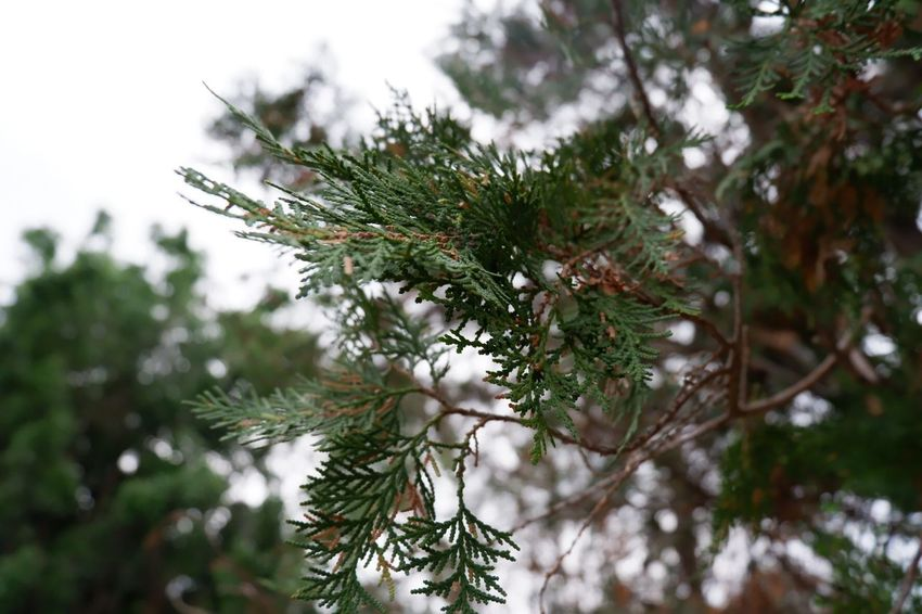 Plant Tree Pine Tree Growth Green Color Beauty In Nature Nature Needle - Plant Part Coniferous Tree Pinaceae Tranquility Selective Focus Day Branch Focus On Foreground No People Low Angle View Close-up Outdoors Twig