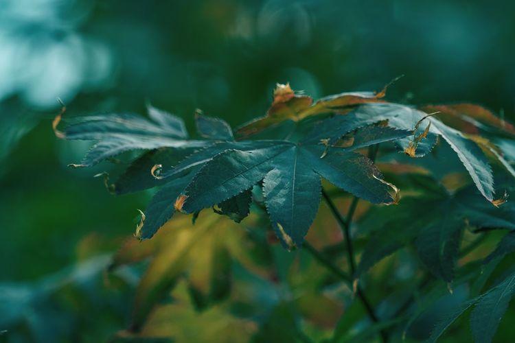 Maple leaf in the garden