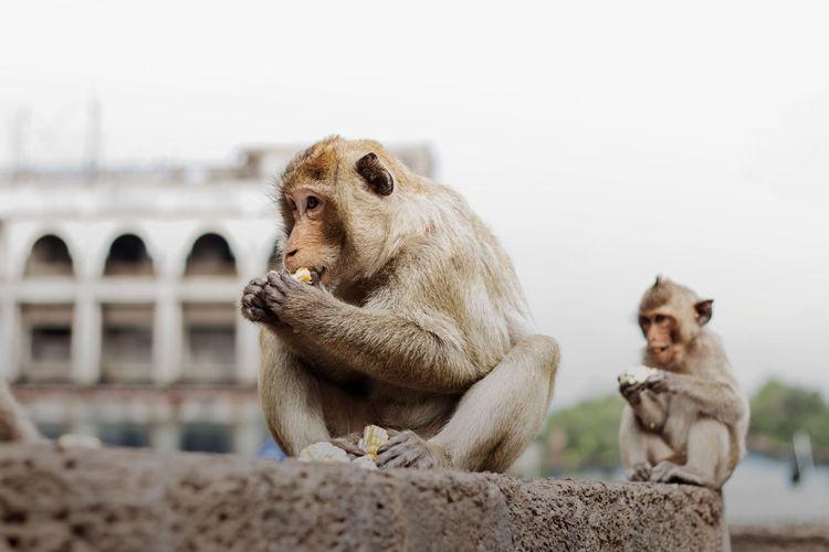 Monkeys sitting looking away against clear sky