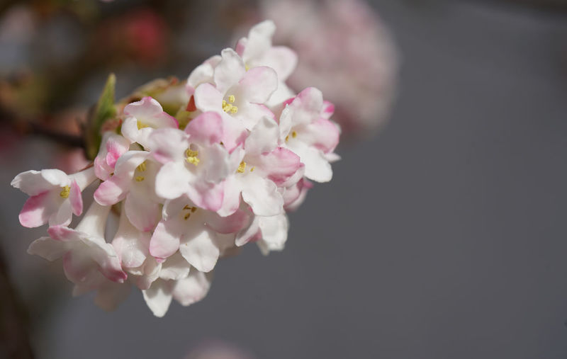 Close-up of pink cherry blossom flowers