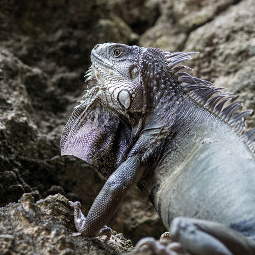 Green iguana hides in the rocks in Puerto Rico Iguana Puerto Rico Animal Themes Animal Wildlife Animals In The Wild Caribbean Close-up Day Iguana Lizard Nature No People One Animal Outdoors Reptile Rock - Object Scales