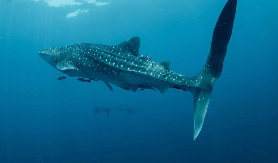 Whale shark Whale Life Giant Tropical Reef Coral Wildlife Plankton Animal Themes Whale Shark Marine Water Shark Sea Life Nature Fish Vertebrate Blue Scuba Diving