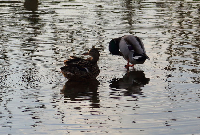 Parque Torreblanca Animal Themes Duck Pato Two Animals Water