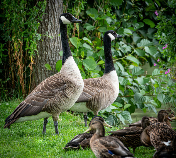 Canadageese on