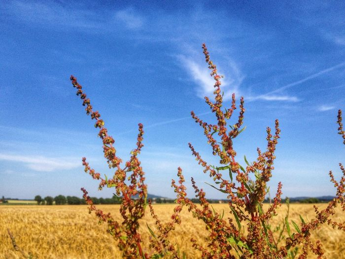 Wild Plants Against Field