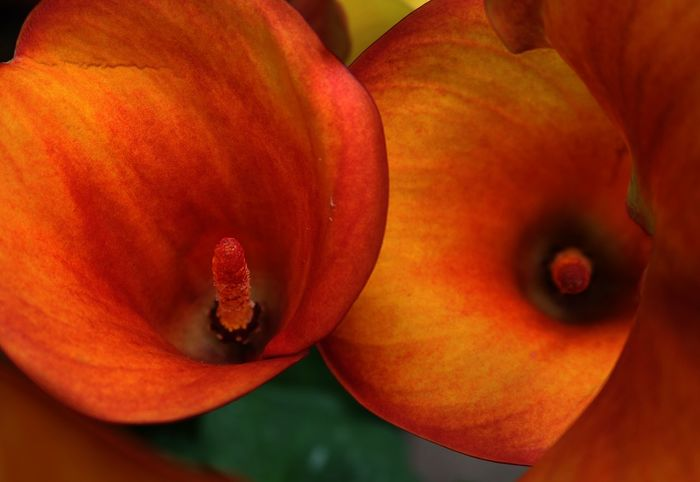 Calla Calla Lily Callalily Close Up Flower Flower In Inside A Flower Orange Color Orange Flower Orange Flowers Peach Color Peach Color Flowers Pistil Pistil And Stamens Red Calla Up Close Upclose  Yellow Calla Showcase April Showcase April 2016