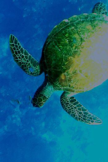 I wanted to be asea turtle when I was elementary school. Sea Seaturtle Ishigaki Island