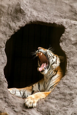 Animal Themes Animals In The Wild Bengal Tigers Cave Close-up Day Domestic Cat Feline Mammal Mouth Open No People One Animal Outdoors Rock - Object Tiger Yawning