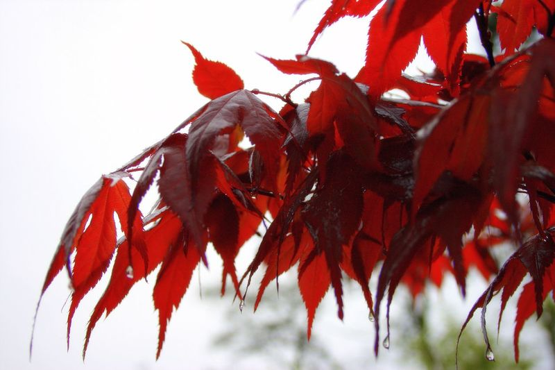 Red Nature Close-up No People Leaf Beauty In Nature Plant Outdoors Maple Leaf Japanese Maple Japanese  Japan Japan Photography Japanischer Ahorn Ahorn