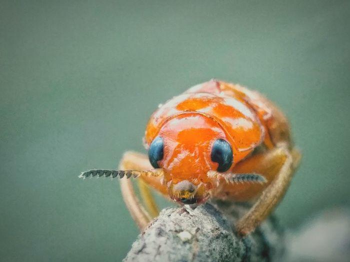 Close-up of orange crab