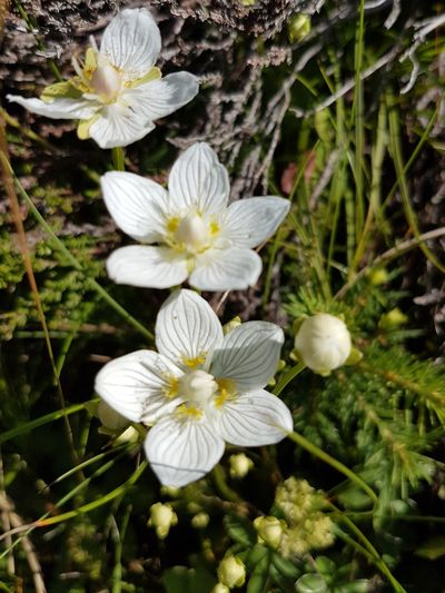Flower Flower Head Fragility White Color Beauty In Nature Petal Growth Freshness Day Nature No People Outdoors Close-up Plant Parnassia Palustris Sumpf-Herzblatt Parnassie Des Marais