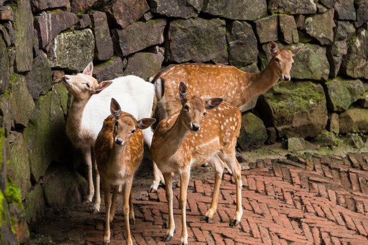 Deer family standing next to wall