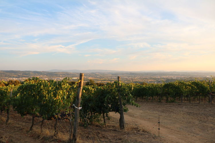 Vino from
