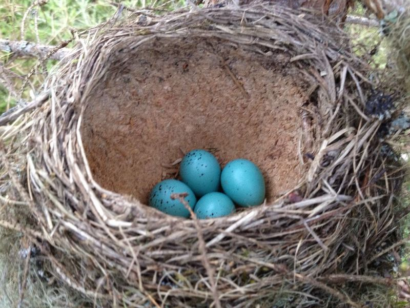 Bird Eggs Hanging Out Taking Photos Natural Beauty Nest Song Thrush