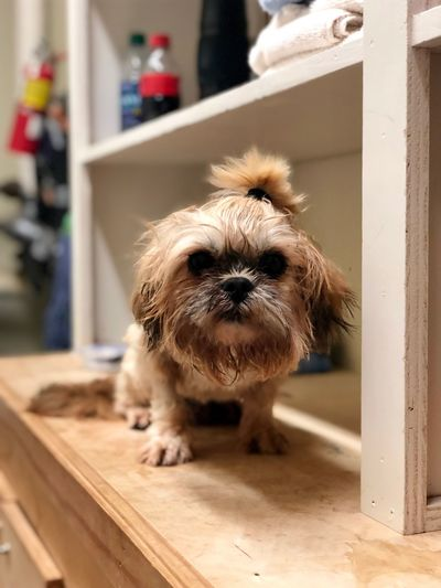I MEAN, REALLY. What these humans like to call cute makes me a LITTLE angry! Stop, grr! GrRrRr!!! Grooming Veterinary Clinic Veterinary Hospital Veterinary Shihtzuofinstagram Shih Tzu AdoptDontShop EyeEmNewHere Pets Photography Animal Themes Mammal Animal One Animal Domestic Pets Domestic Animals Canine Dog No People Portrait Lap Dog Focus On Foreground Small Front View Indoors