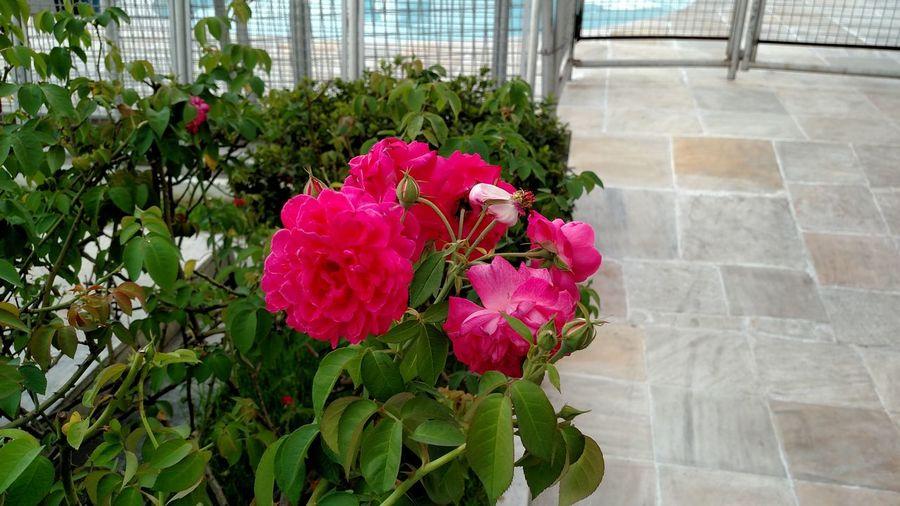 Blooming Flower Freshness Leaf No People Pink Color