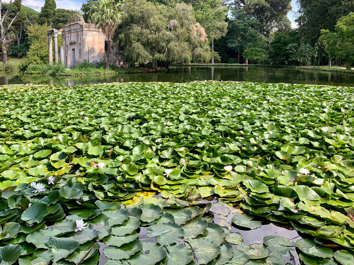Water lilies on leaves floating in lake