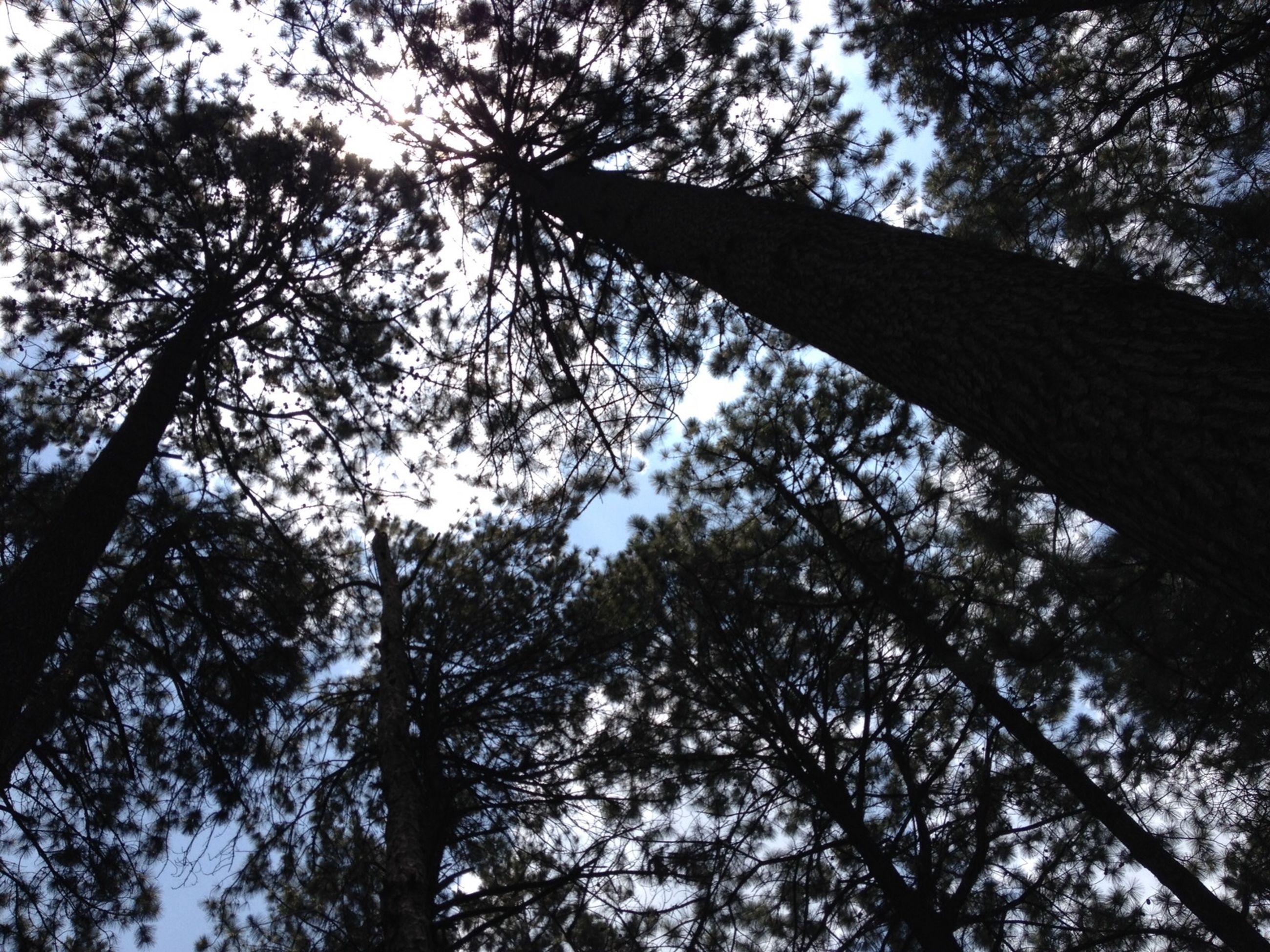 tree, low angle view, branch, growth, sky, tree trunk, nature, tranquility, beauty in nature, silhouette, forest, day, scenics, outdoors, tranquil scene, no people, tall - high, directly below, leaf, treetop