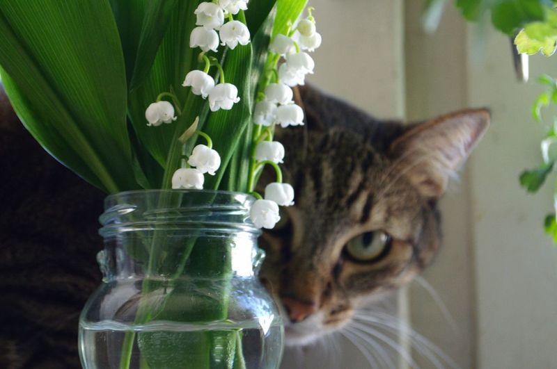 |ωΦ*)✧ 猫 ねこ 花 鈴蘭 すずらん
