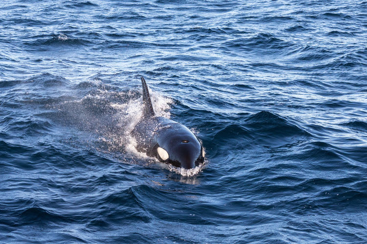 High Angle View Of Killer Whale Swimming In Sea