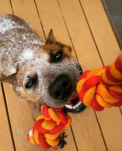 My pup tugs at my heartstrings. Australian Cattle Dog Puppy Love Red Heeler Tug Of War Play Time Summer Dogs Dog Toy