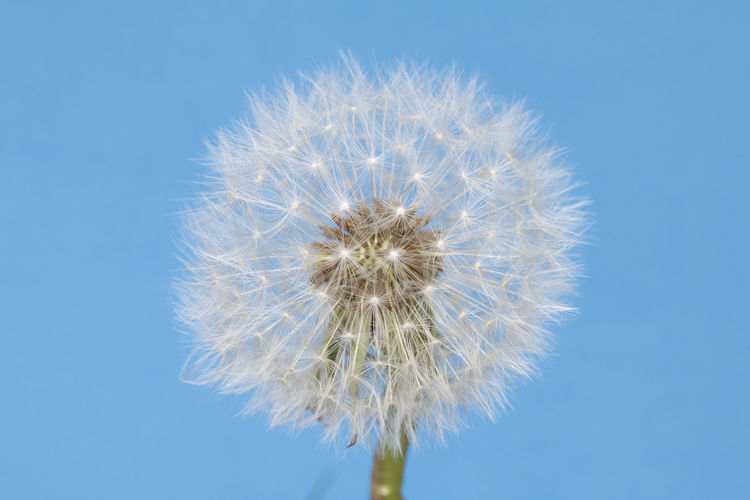 Close-up of dandelion against blue sky