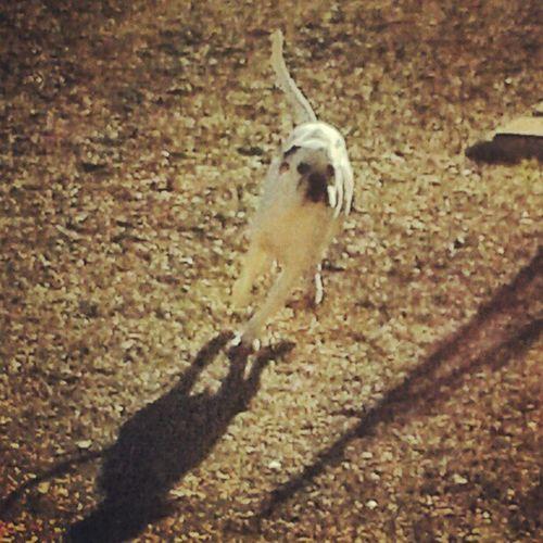 Bianca Corsa Running Run fast velocita ombra riflesso mypic myphoto sun sole smile sogno sorriso boxer boxersofinstagram boxeraddict cane dog amici love animali loveanimal loveboxer signa toscana