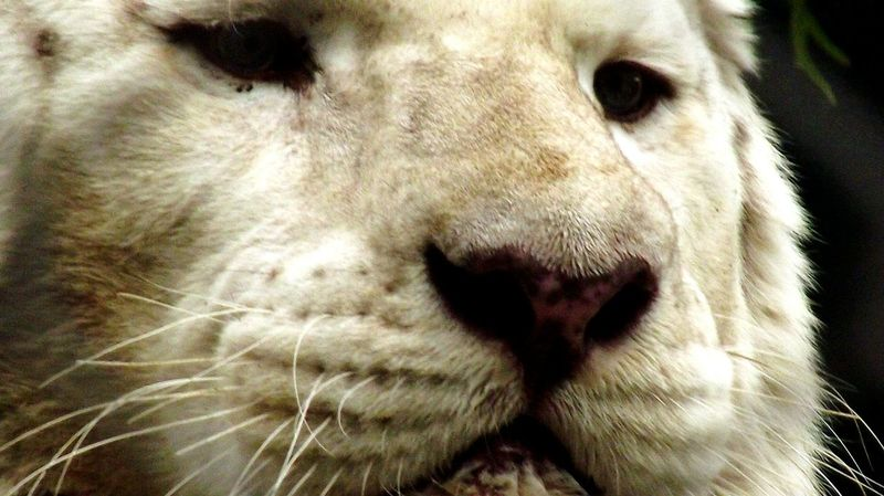 One Animal Close-up Mirage Hotel Lasvegas White Tiger Lion - Feline Animal Head  Las Vegas Femalephotographerofthemonth