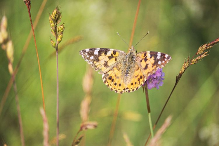 Animal Wildlife Animal Themes Animal Animals In The Wild One Animal Insect Plant Beauty In Nature Animal Wing Focus On Foreground Close-up Nature Flower Animal Markings Butterfly Growth Butterfly - Insect Lovely Beautiful Beautiful Nature Natural Beauty Nature_collection Nature Photography Naturelovers Walking Around Taking Pictures EyeEm Gallery Eye4photography  EyeEm Nature Lover Scenics - Nature Animal Photography Insect Photography Insect Paparazzi Grass Blade Of Grass