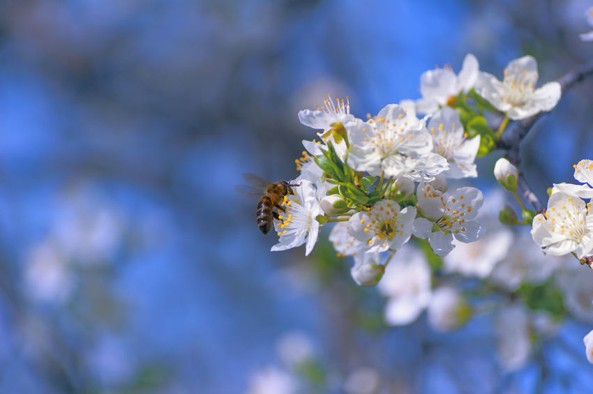 Bee 🐝 Animal Themes Animal Wildlife Animals In The Wild Beauty In Nature Bee Close-up Day Flower Flower Head Flowering Plant Fragility Freshness Growth Insect Invertebrate Nature No People Outdoors Petal Plant Pollen Pollination Springtime Vulnerability  White Color