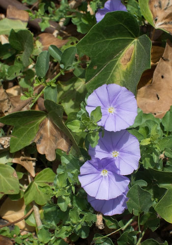 Purple Morning Glory flowers (Ipomea) in Mallorca, Balearic islands, Spain in July. Beauty In Nature Blooming Close-up Day Flower Flower Head Fragility Freshness Green Color Growth Ipomea Leaf Morning Glory Nature No People Outdoors Periwinkle Petal Petunia Plant Purple